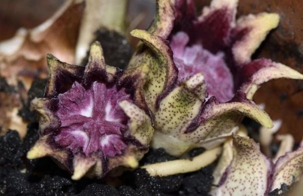 цветы аспидистры