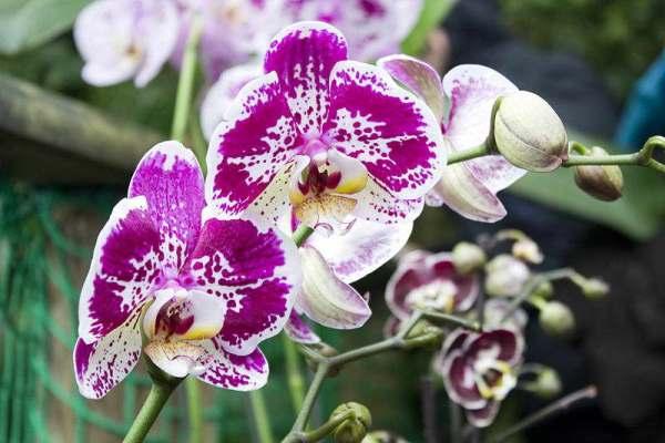 орхидея гибридная