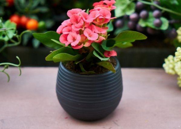молочай миля цветет