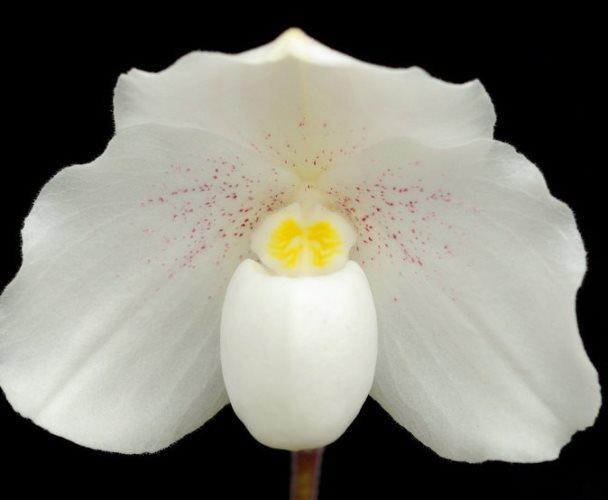 орхидея нивеум