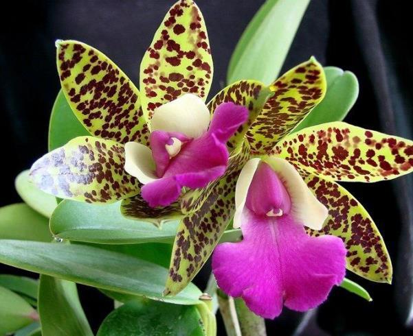 орхидея каттлеи