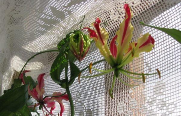 подвязка лианы
