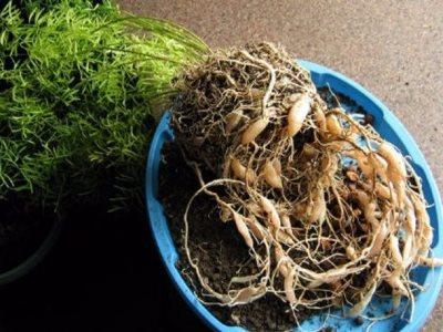 разрослись корни у аспарагуса