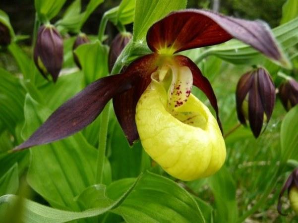венерин башмачок обыкновенный