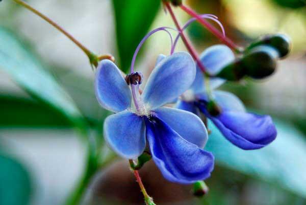 цветок клеродендрум угандийский