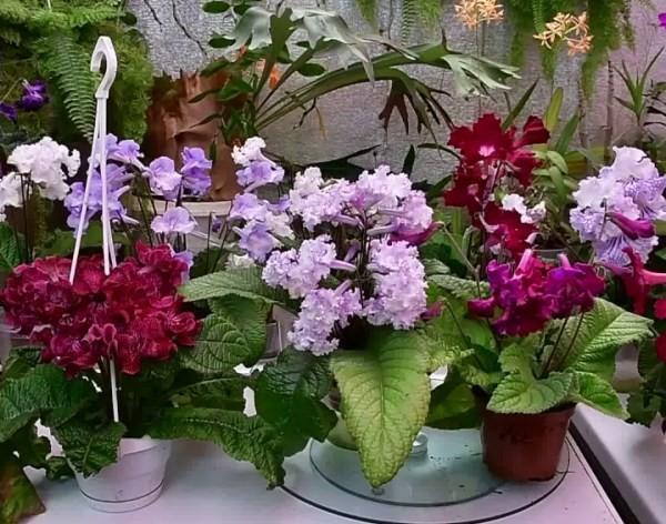 цветущие стрептокарпусы