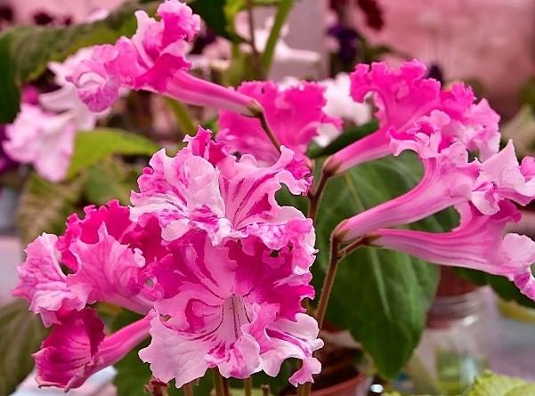цветущий стрептокарпус фото