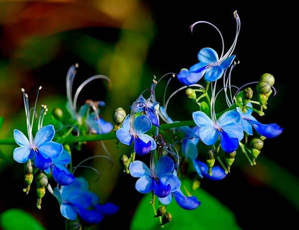 клеродендрум бабочки