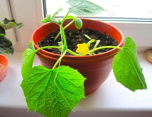ростки огурцов