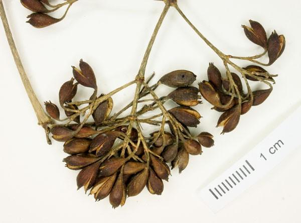семена бувардии