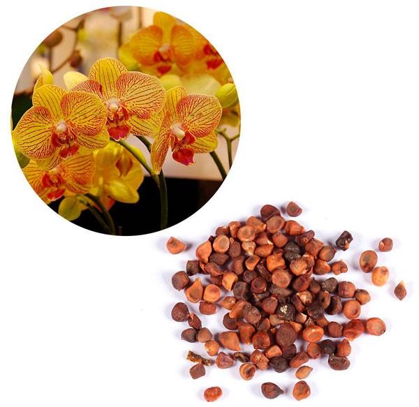 семена цимбидиум