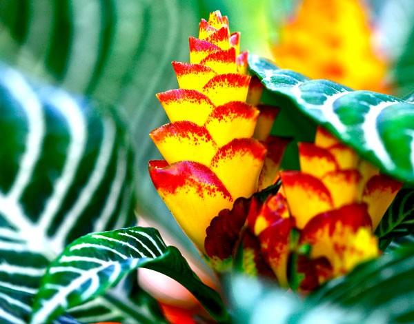 афеландра цветет