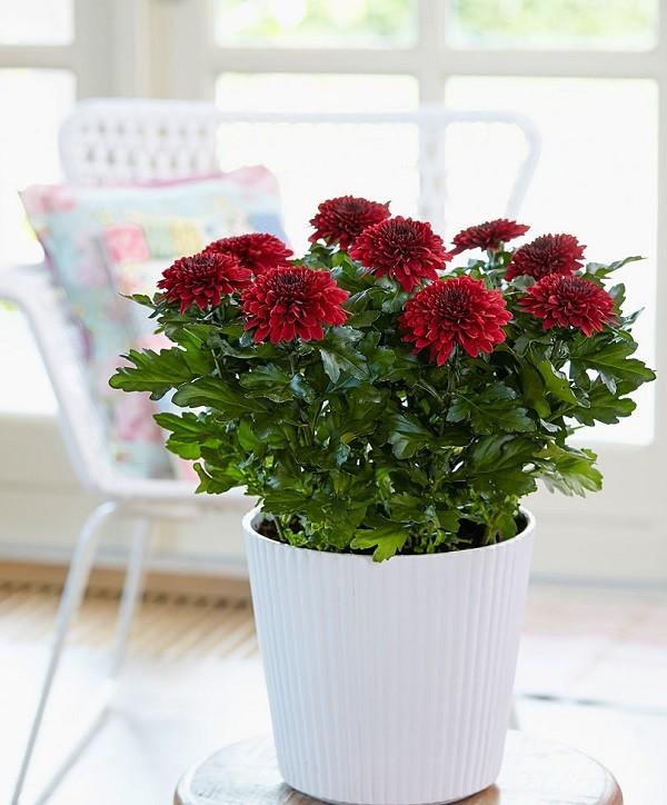 цветок хризантема фото