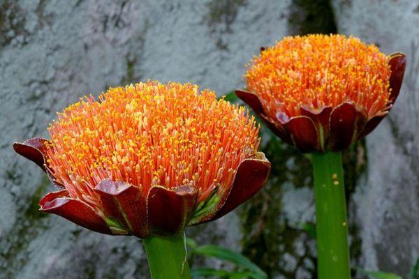 Многоцветковый