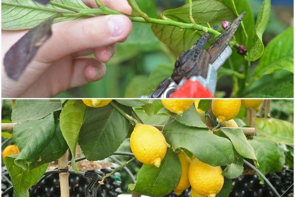 Прищипывание лимона