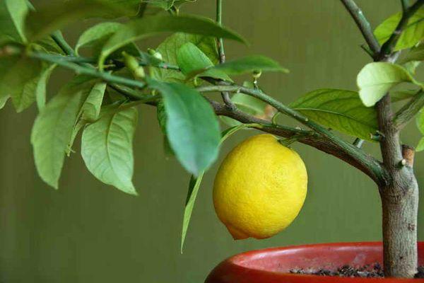 Лимон, выращенный из косточки