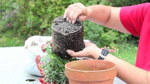 Пересадка домашней хризантемы
