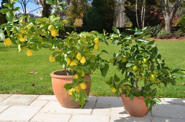 Как пересадить лимонное дерево