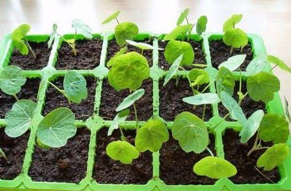 Рассадный способ выращивания настурции
