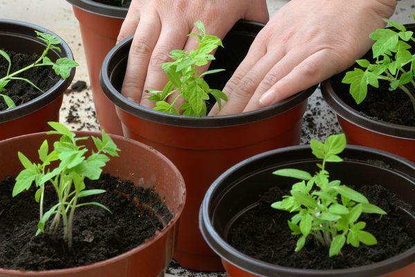 Посадка рассады помидоров в горшки