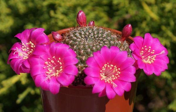 Rebutiaviolaciflora