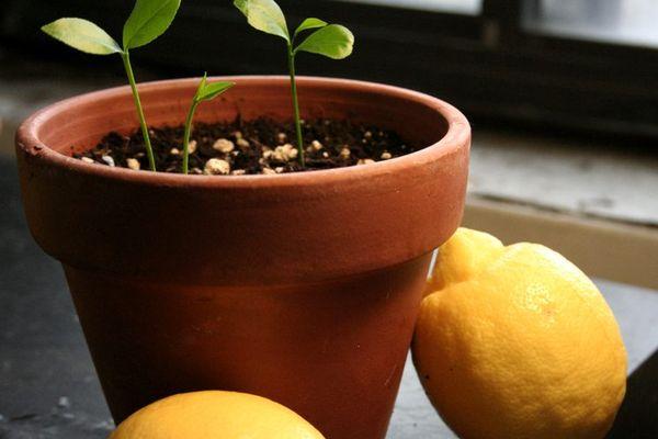 Пророщенная лимонная косточка