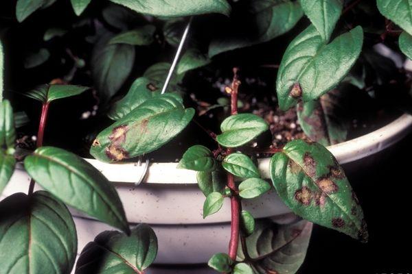 Ржавчина на листьях фуксии