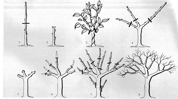 Схема обрезки фикуса бонсай