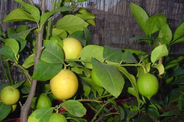Сорт лимона Дженоа