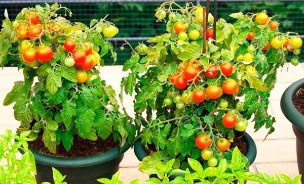 Сорт помидоров Балконное чудо