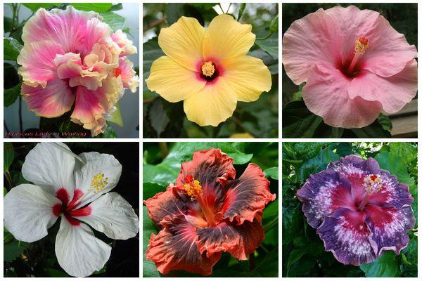 Разновидности китайской розы