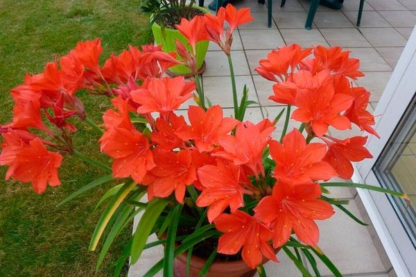 Валлота: описание растения
