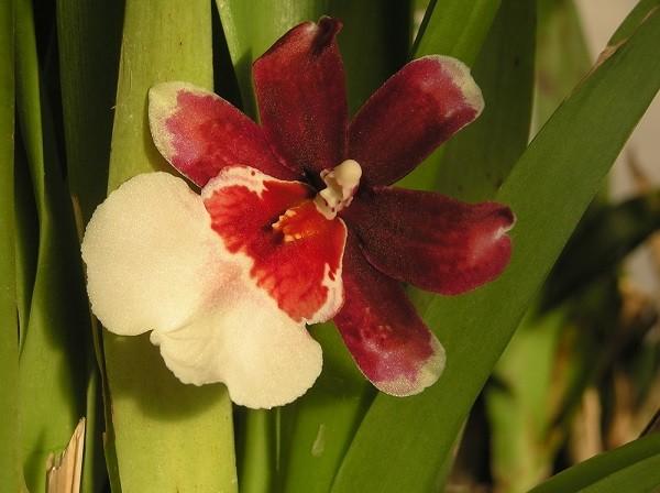 Цветение Камбрии