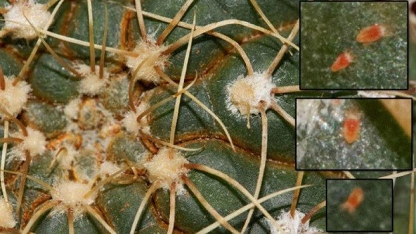 Кактусовый клещ