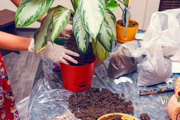 Почва для Диффенбахии