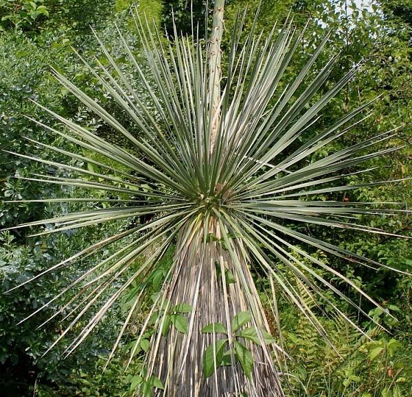 Юкка сизая (Yucca glauca)