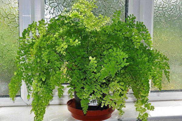 Адиантум: описание растения