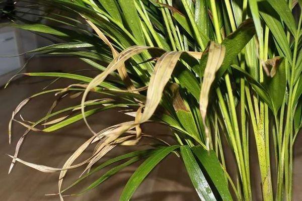 У пальмы желтеют листья