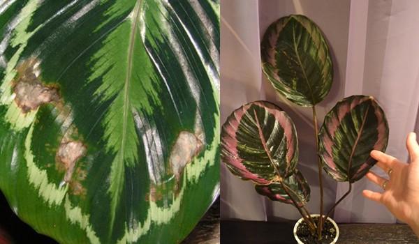 Коричневые пятна на листьях калатеи медальон