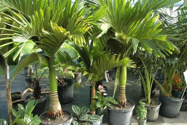 Пальма арека катеху