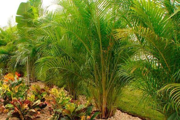 Пальма арека: описание