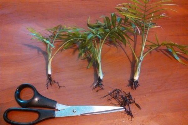 Размножение пальмы отростками