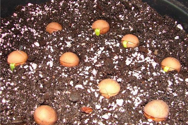 Размножение пальмы семенами
