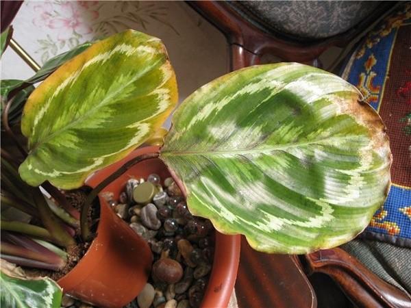 Сохнут и скручиваются листья у калатеи медальон