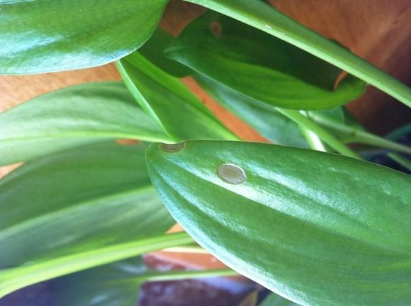 Светлые пятна на листьях дримиопсиса