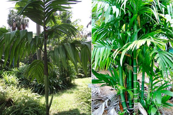 Трёхтычинковая пальма арека