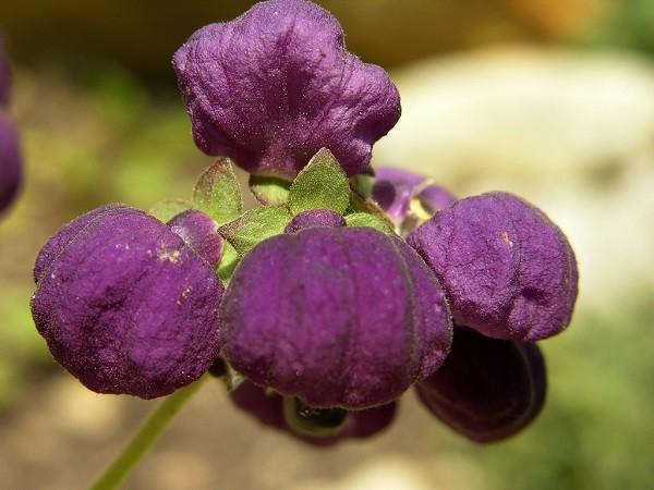 C. purpurea Graham