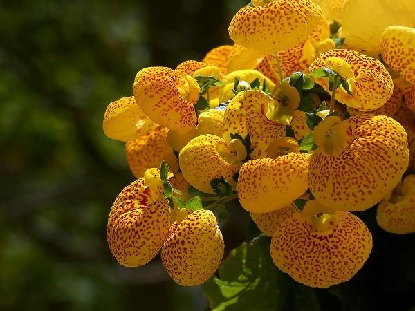 Calceolaria mexicana