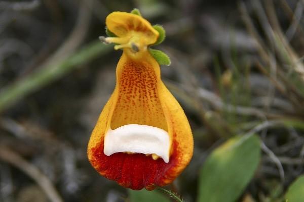 Сalceolaria uniflora
