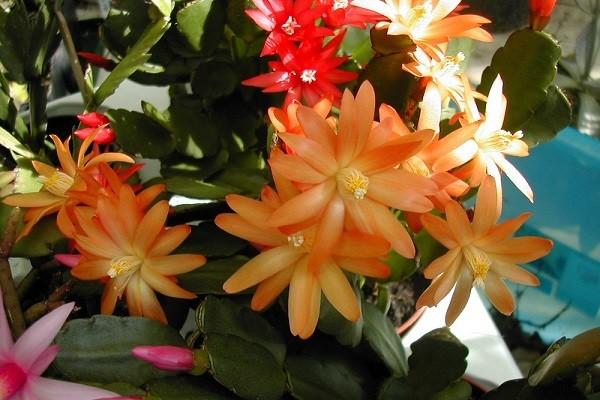 Как цветет хатиора